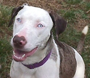 About Catahoulas